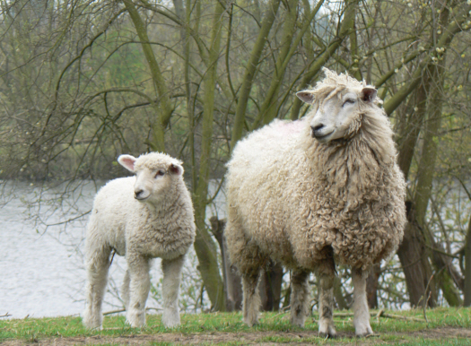 A Cotswold Ewe and her lamb