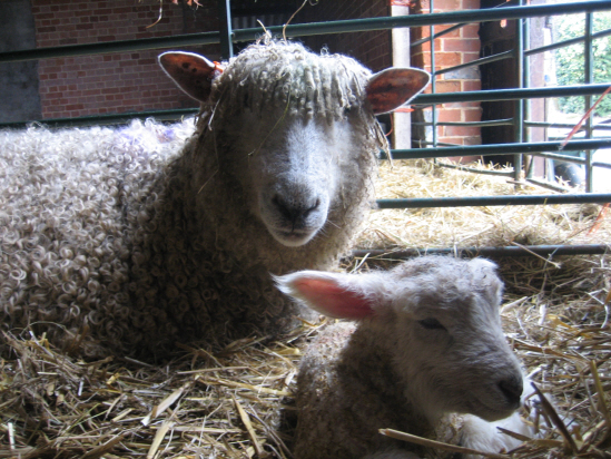 A ewe and her lamb